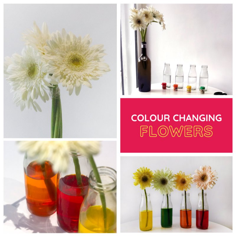 DIY-Colour-changing-flower-activity-for-kids